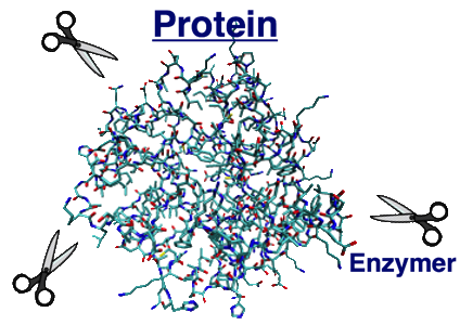 enzymer magsyra protein