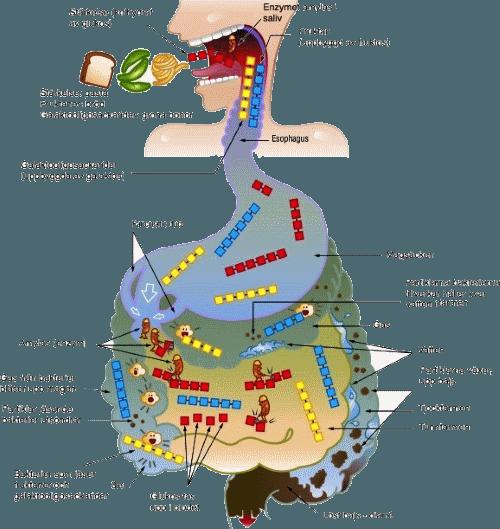 gas i tarmen